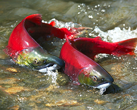 Of the five BC salmon species that used to comprise Okanagan stocks, only Sockeye Salmon is common these days in the Southern Interior.