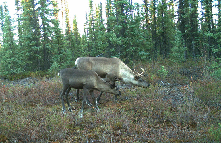 A team of researchers has determined the declining caribou population is part of a natural chain reaction from forest harvesting which can attract predators and competition for food. Photo by: Caribou Monitoring Unit
