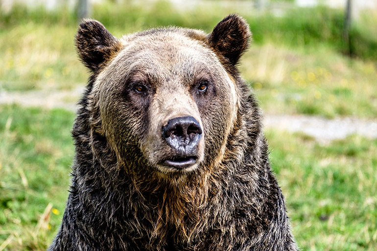 UBCO researchers are concerned about how the actions of some scientists, advocacy groups and the public are eroding efforts to conserve biodiversity, including grizzly bears, wild bees and salmon.