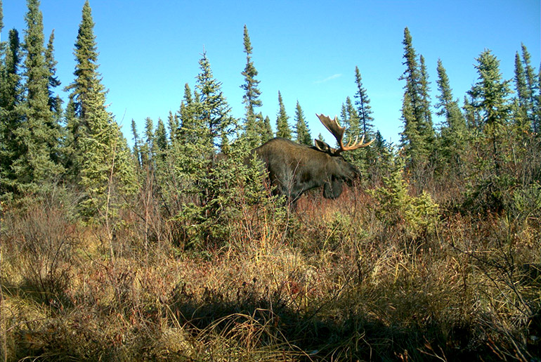 Caribou have a lower population growth rates relative to moose, and are not as resilient, making them more susceptible to landscape changes. Photo by: Caribou Monitoring Unit